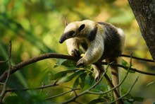 Northern Tamandua - Tamandua Mexicana Species Of Anteater, Tropical And Subtropical Forests