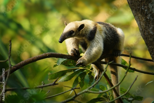 Northern Tamandua - Tamandua mexicana species of anteater, tropical and subtropi Fototapete