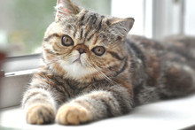 Brown Exotic Shorthair Kitten Lies By The Window And Looks Forward.  Kid Animals And Adorable Persian Cats Concept.