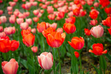 Fototapeta Coffie - Beautiful red tulips with green leaves on spring garden.
