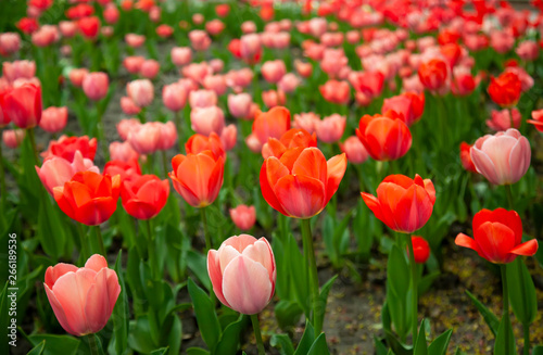 Fototapety, obrazy: Beautiful red tulips with green leaves on spring garden.