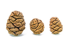 Three Giant Sequoia Cones Isolated On The White Background.