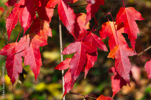 Leaves of Amur Maple or Acer ginnala in autumn sunlight with bokeh background, s Wallpaper Mural