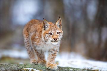 Beautiful eurasian lynx cub...
