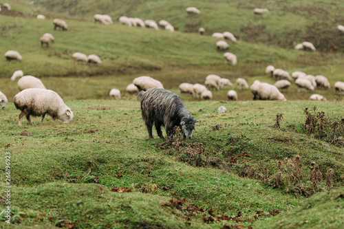 herd of sheep grazing on green meadows in the mountains of the Caucasus