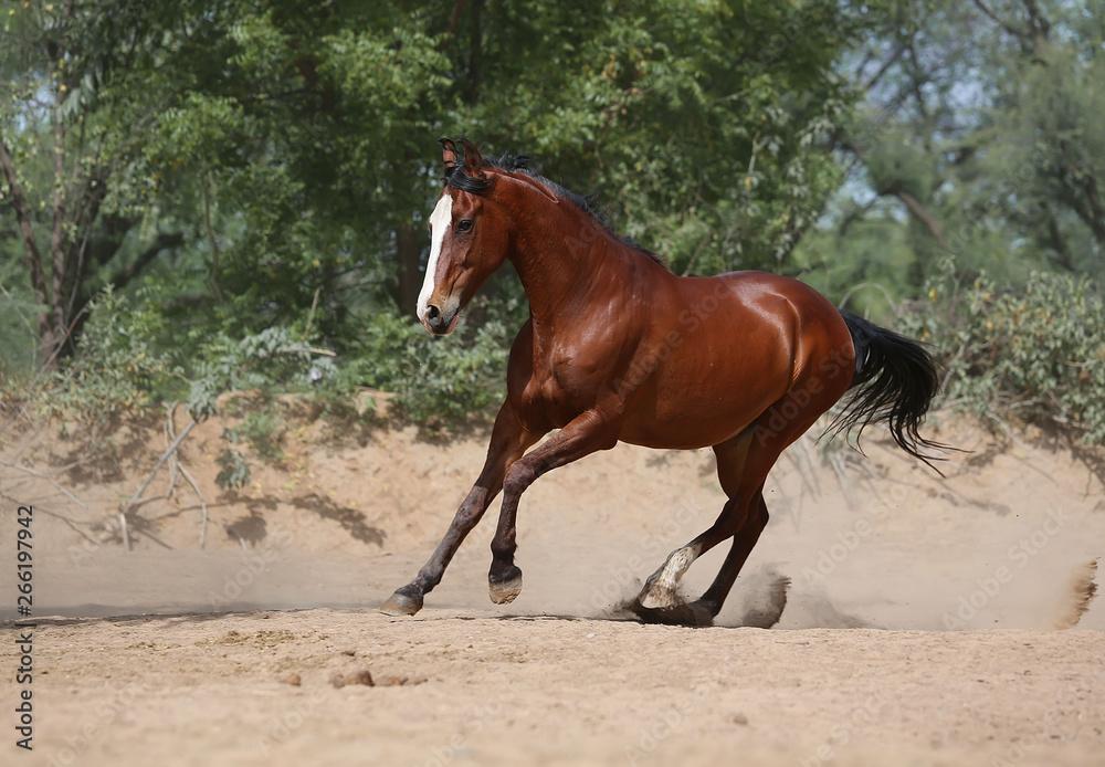 Fototapeta marwari horse in the field