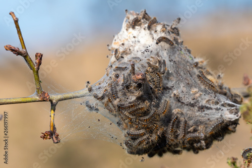 Fotografie, Obraz  Caterpillar larvae, Brown tail caterpillars on tree