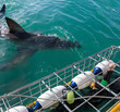 canvas print picture - Great White Shark next to diving cage with divers off the Ganbaai coast, Cape Town, South Africa