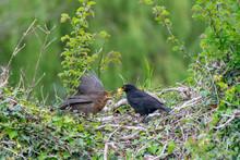 Male Blackbird (turdus Merula)...