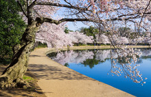 Cherry Blossoms Overhang The Tidal Basin In Washington DC During Cherry Blossom Festival
