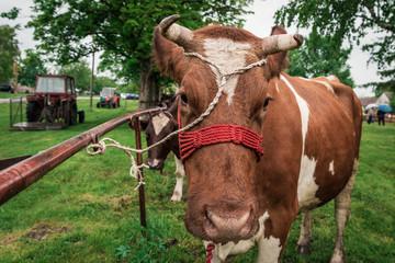 Ordinary domestic European cow