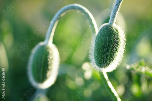 Two young poppy flower buds in the garden  - 266216519