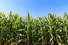 Closeup Of Corn Plantation With Growing Ears