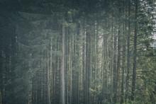 Mountain Pine Trees Background