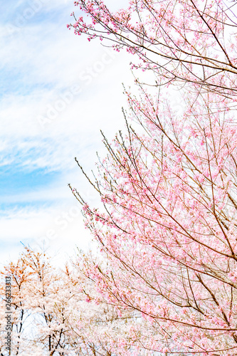 Canvas Prints Light pink Cherry blossom, Pink, Flower
