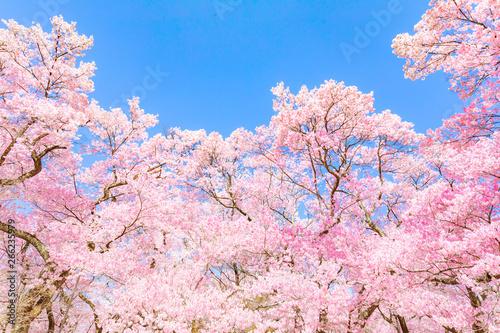ピンクの桜の花(高遠桜) Canvas Print