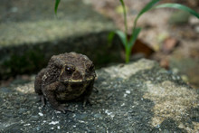 Common Toad On Stone In The Garden