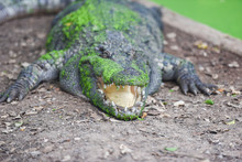 Crocodile Lying On Ground With...