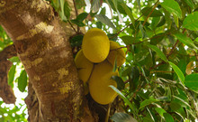 Fresh Jackfruit On The Branch