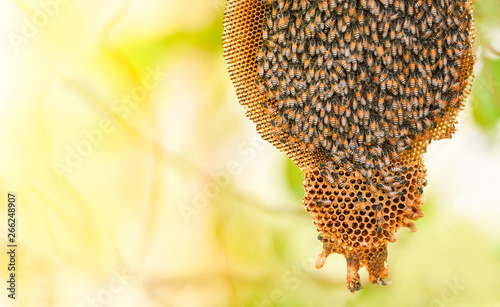 Photo Stands Bee honeycomb on tree nature and swarm honey bee on comb beehive