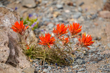 Indian Paintbrush Flower In Th...