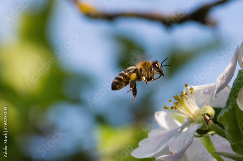 Poster Bee Honey bee, pollination process