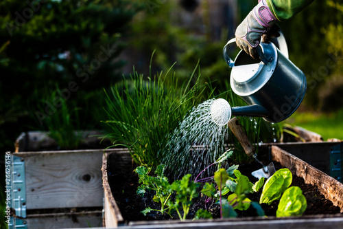 Backyard outdoor portrait of a woman gardener hands planting letuce in vegetable garden Fototapeta