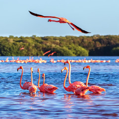 Obraz na SzkleMany pink beautiful flamingos in a beautiful blue lagoon. Mexico. Celestun national park. Square image.