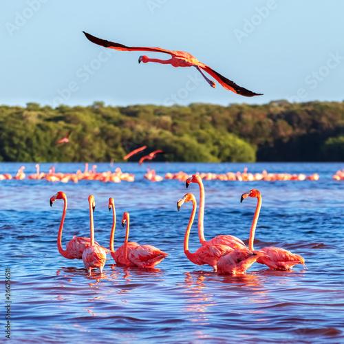 Photo sur Aluminium Flamingo Many pink beautiful flamingos in a beautiful blue lagoon. Mexico. Celestun national park. Square image.
