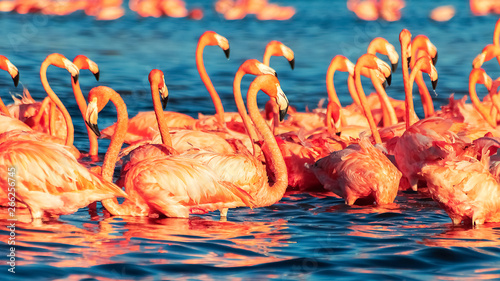 Many pink coral beautiful wild flamingos in blue lagoon. Wild nature. Selective focus.