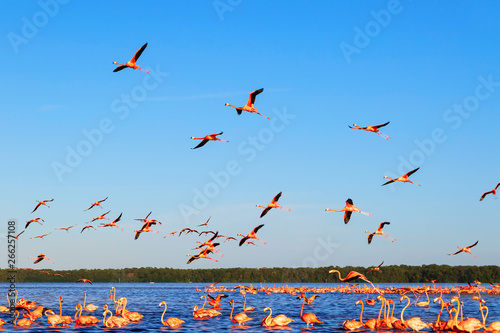 Many pink beautiful flamingos in a beautiful blue lagoon. Wild nature.