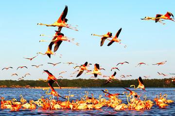 Fototapeta Ptaki Many pink beautiful flamingos in a beautiful blue lagoon. Water reflections. Mexico. Celestun national park.