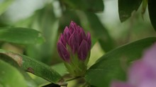 Rhododendron Flowering In The ...