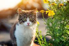 Stray Kitten Near Yellow Flowers At Sunset.