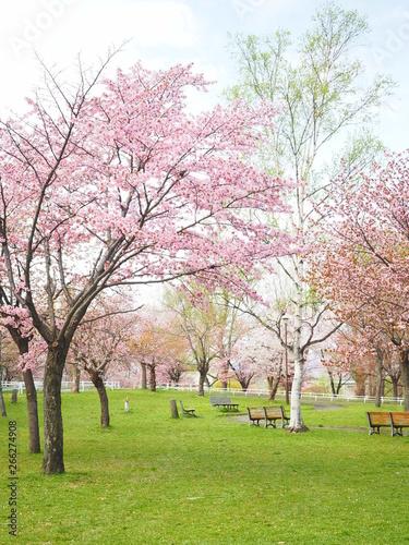 Poster Rose clair / pale 北海道の桜風景