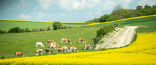 Large Group Of Healthy Beautiful Cows Grazing Fresh Grass On The Fields And Hills Of French Village Near Beautiful Vibrant Raps Field In Bloom Bio Organic.