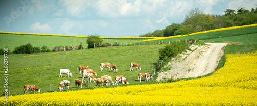 Obraz na plátně  large group of healthy beautiful cows grazing fresh grass on the fields and hills of French village near beautiful vibrant raps field in bloom bio organic