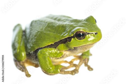 Fototapeta European tree frog (Hyla arborea) sitting on white background