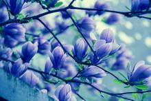 Blooming Magnolia Tree. Springtime. Blue Vintage Nature Flowers Background