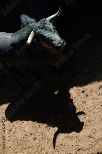 Shadows and silhouettes of fighting bulls before a bullfight.