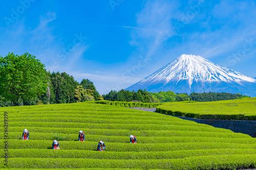 Foto  静岡県富士市 大淵笹場の茶畑 お茶まつり