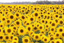 Field Of Sunflowers. Compositi...