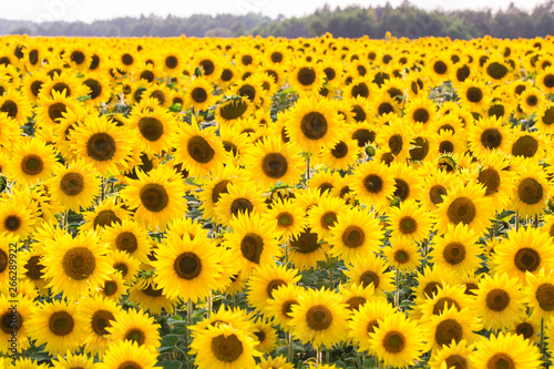 Spoed Foto op Canvas Zonnebloem Field of sunflowers. Composition of nature.