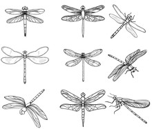 Insects Dragonflies, Set Collection, Sketch