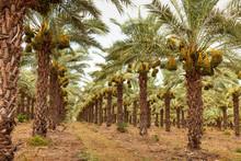 Fig Palms