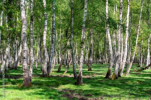 brzozy-w-lesie