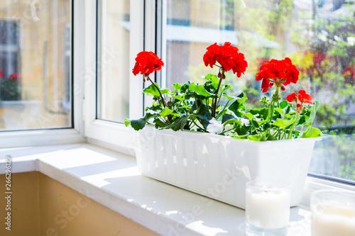 Fototapeta Red geranium flowers on windowsill at home balcony window