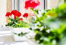 Red Geranium Flowers On Windowsill At Home Balcony Window