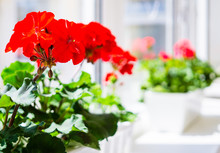 Red Geranium Flowers On Windowsill At Home Balcony Window