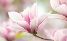 Flower Magnolia Flowering Agai...